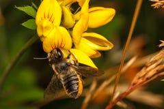 Μέλισσα κοπτών φύλλων Στοκ φωτογραφία με δικαίωμα ελεύθερης χρήσης
