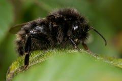 Μέλισσα κούκων τομέων (campestris Bombus) Στοκ Εικόνα