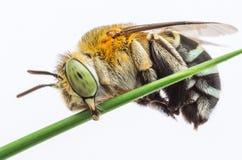 Μέλισσα κούκων Στοκ Εικόνες