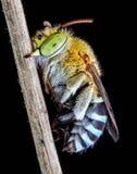 Μέλισσα κούκων Στοκ φωτογραφία με δικαίωμα ελεύθερης χρήσης