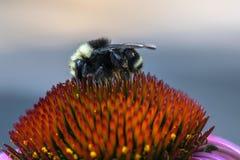Μέλισσα κώνων Στοκ εικόνες με δικαίωμα ελεύθερης χρήσης