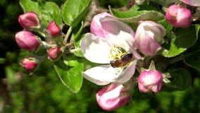 Μέλισσα μεταλλείας (Andrena) απόθεμα βίντεο