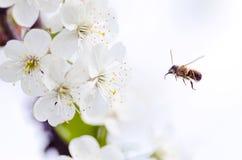 Μέλισσα με λεπτομέρειες δράσης Στοκ Εικόνες