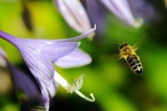 Μέλισσα μελιού που πετά στο λουλούδι για να συλλέξει το νέκταρ Στοκ εικόνα με δικαίωμα ελεύθερης χρήσης
