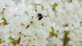 Μέλισσα μελιού που συλλέγει τη γύρη από τα λουλούδια απόθεμα βίντεο