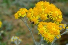 Μέλισσα μελιού που συλλέγει τη γύρη στα κίτρινα λουλούδια Στοκ Εικόνες