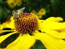 Μέλισσα μελιού που συλλέγει τη γύρη στο κόκκινο λουλούδι νυφών ήλιων, Helenium autumnale Arnica λουλούδι στον κήπο σφήκα Στοκ Εικόνα