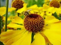 Μέλισσα μελιού που συλλέγει τη γύρη στο κόκκινο λουλούδι νυφών ήλιων, Helenium autumnale Arnica λουλούδι στον κήπο σφήκα Στοκ Φωτογραφία