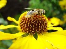 Μέλισσα μελιού που συλλέγει τη γύρη στο κόκκινο λουλούδι νυφών ήλιων, Helenium autumnale Arnica λουλούδι στον κήπο σφήκα Στοκ Φωτογραφίες