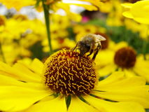 Μέλισσα μελιού που συλλέγει τη γύρη στο κόκκινο λουλούδι νυφών ήλιων, Helenium autumnale Arnica λουλούδι στον κήπο σφήκα Στοκ φωτογραφία με δικαίωμα ελεύθερης χρήσης