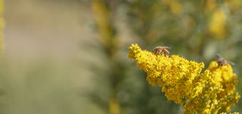 Μέλισσα μελιού σε ένα λουλούδι Στοκ Φωτογραφία