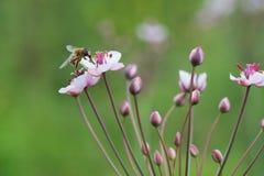 Μέλισσα μελιού στη βιασύνη χλόης στοκ εικόνες