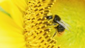 Μέλισσα μελιού στο λουλούδι Στοκ εικόνες με δικαίωμα ελεύθερης χρήσης
