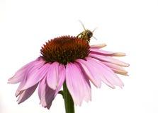 Μέλισσα μελιού στο πορφυρό λουλούδι στο άσπρο υπόβαθρο στοκ φωτογραφία με δικαίωμα ελεύθερης χρήσης