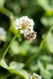 Μέλισσα μελιού στο trefoil τριφυλλιού λουλούδι στον πράσινο τομέα Στοκ φωτογραφία με δικαίωμα ελεύθερης χρήσης