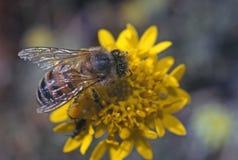 Μέλισσα μελιού στοκ εικόνες