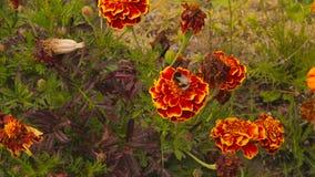 Μέλισσα μελιού marigold wildflower απόθεμα βίντεο
