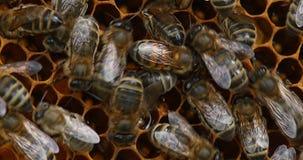 Μέλισσα μελιού, mellifera apis, γυναίκα εργαζόμενοι, που τείνει τις προνύμφες στη χτένα τσουρμάτων, κυψέλη μελισσών στη Νορμανδία φιλμ μικρού μήκους