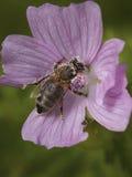 Μέλισσα με τη γύρη Στοκ εικόνες με δικαίωμα ελεύθερης χρήσης