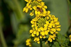 Μέλισσα μουστάρδας Στοκ φωτογραφίες με δικαίωμα ελεύθερης χρήσης