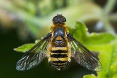 Μέλισσα-μύγα βιλών Downland (cingulata βιλών) άνωθεν στοκ φωτογραφίες