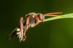 Μέλισσα νομάδων (Nomada SP ) πιάνοντας φύλλο με την κάτω γνάθο, στο σχεδιάγραμμα Στοκ εικόνες με δικαίωμα ελεύθερης χρήσης