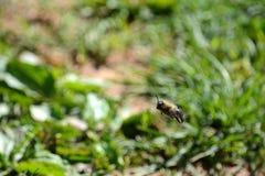 Μέλισσα ξυλουργών κατά την πτήση Στοκ Φωτογραφία