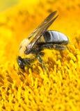 Μέλισσα ξυλουργών στον ηλίανθο Στοκ φωτογραφία με δικαίωμα ελεύθερης χρήσης