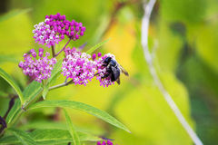 Μέλισσα ξυλουργών Στοκ φωτογραφία με δικαίωμα ελεύθερης χρήσης