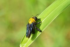 Μέλισσα ξυλουργών Στοκ Εικόνες
