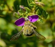 Μέλισσα ξυλουργών (caffra Xylocopa) Στοκ Εικόνα