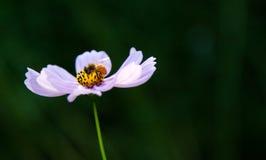 μέλισσα λουλουδιών Στοκ εικόνα με δικαίωμα ελεύθερης χρήσης
