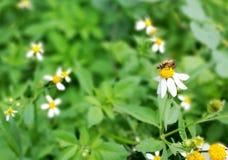 Μέλισσα & λουλούδι Στοκ φωτογραφίες με δικαίωμα ελεύθερης χρήσης