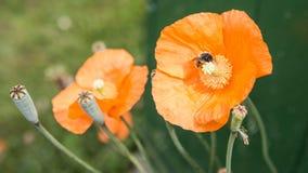Μέλισσα παπαρουνών Στοκ Εικόνα