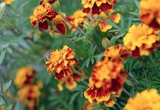 μέλισσα πεινασμένη Στοκ εικόνες με δικαίωμα ελεύθερης χρήσης