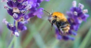 Μέλισσα που αιωρείται από Lavender Στοκ Εικόνες