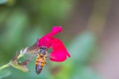 Μέλισσα που αιωρείται επάνω από το λουλούδι Στοκ Φωτογραφία