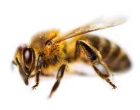 Μέλισσα που απομονώνεται σε ένα λευκό Στοκ εικόνα με δικαίωμα ελεύθερης χρήσης