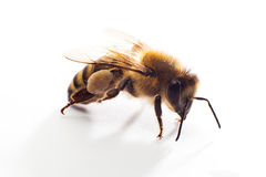 μέλισσα που απομονώνετα&io Στοκ Φωτογραφίες