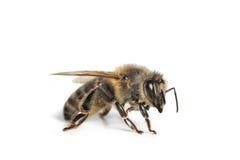 μέλισσα που απομονώνετα&io Στοκ Φωτογραφία