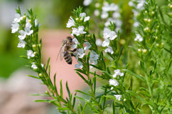 Μέλισσα που εξάγει το νέκταρ από τα λουλούδια θυμαριού Στοκ Φωτογραφίες