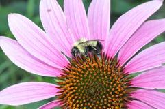 Μέλισσα που επικονιάζει ένα λουλούδι Στοκ φωτογραφία με δικαίωμα ελεύθερης χρήσης
