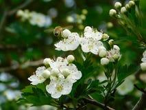 Μέλισσα που επικονιάζει ένα howthorn Στοκ Εικόνες