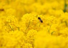 Μέλισσα που επικονιάζει τα άγρια κίτρινα λουλούδια Στοκ φωτογραφία με δικαίωμα ελεύθερης χρήσης