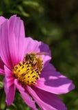 Μέλισσα που επικονιάζει το ρόδινο λουλούδι κόσμου Στοκ Εικόνα