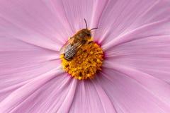 Μέλισσα που επικονιάζει το ρόδινο λουλούδι στοκ εικόνες