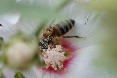 Μέλισσα που κάνει τη σκληρή δουλειά την άνοιξη Στοκ εικόνα με δικαίωμα ελεύθερης χρήσης
