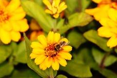 Μέλισσα που κάνει τη σκληρή δουλειά την άνοιξη Στοκ εικόνες με δικαίωμα ελεύθερης χρήσης