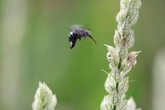 Μέλισσα που παίρνει το σιρόπι Στοκ Φωτογραφίες