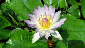 Μέλισσα που πετά με το όμορφο λουλούδι λωτού, waterlily, στενό επάνω, σε αργή κίνηση βίντεο φιλμ μικρού μήκους